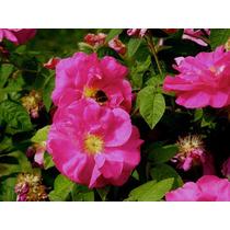 1 Rosa De Castilla Verdadera Planta Vivero Aromatica