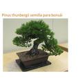 15- Semillas Pinus Thunbergii Semilla Para Bonsái