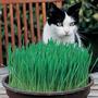 Pasto Para Gatos 200 Semillas Catgrass