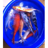 Peces Carpa Koi Medianos Para Estanque Muchos Colores