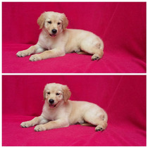 Semental Golden Retriever Con Pedigree Internacional