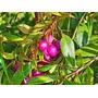 1 Arbol De Lilly Pilly, Syzygium Sp. Eugenia Frutal Exotico