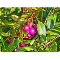 1 Arbol De Lilly Pilly, Syzygium Smithii