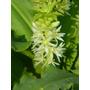 24 Semillas De Eucomis De Flor Blanca, ( Planta De Bulbo )
