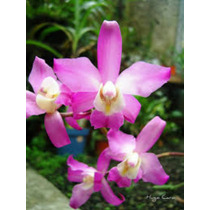 Hermosas Orquideas Laelia Autumnalis Regalos Navideños