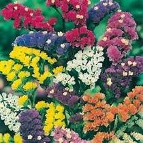 Statice Sinuata 20 Semillas Flor Jardin Planta Mpsdqro
