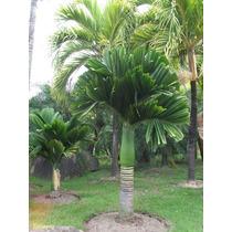 5 Semillas De Areca Catechu (palmera De Betel) Codigo 1340