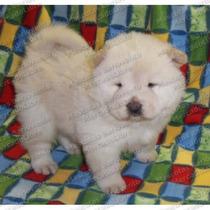 Gran Oferta Cachorros Chow Chow Peludos Genuino Registro Fcm