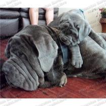 Gran Oferta Cachorros Mastin Napolitano Enormes Registro Fcm
