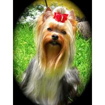 Hermoso Cachorro Yorkshire Terrier Super Mini Padre Campeón