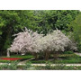 Arbusto Belleza (10 Semillas) Kolkwitzia Amabilis