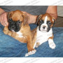 Gran Oferta Cachorros Boxer Genuinos Chatos C/ Registro Fcm