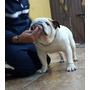 Bulldog Ingles, Semental Europeo