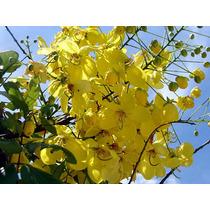 10 Semillas De Cassia Fistula - Lluvia De Oro Codigo 803