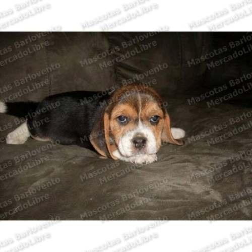 Gran Oferta Cachorros Beagle Cazadores Unicos Registro Fcm