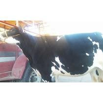 Venta De Vacas Lecheras Y Becerras Gestantes