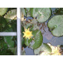 Nenufar Flor Amarilla