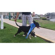 Semental Bull Terrier Ingles Negro