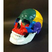 Craneo Humano-modelo Anatomico A Colores