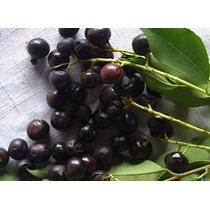 1 Arbol De Capulin Prunus Salicifolia