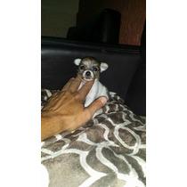 Cachorrito Chihuahua De Pelo Largo Cabeza De Manzana..