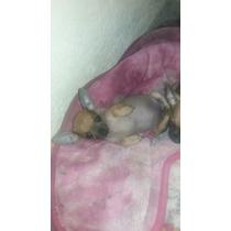 Cachorros Chihuahua Cabeza De Manzana