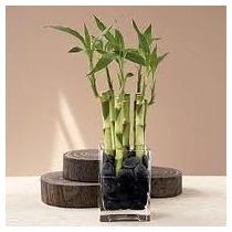 Plantas Exóticas - Semillas Bambú De La Suerte