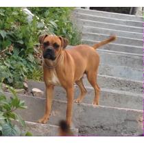 Adopta Perrita Boxer De 9 Meses