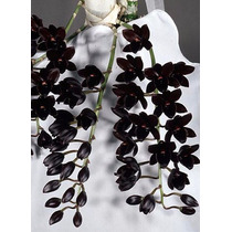 Planta Orquidea Negra Fdk After Dark