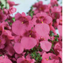 Diascia Rosa 20 Semillas Flor Jardín Sdqro