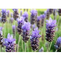 Lavanda 20 Semillas Aromatica Planta Jardín Maceta Sdqro
