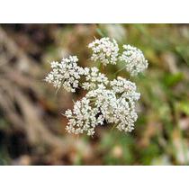 1 Lb. Semillas Pimpinella Anisum (anis Organica) Codigo 199a