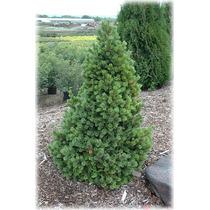 10 Semillas De Pinus Aristata (pino De Colorado) Codigo 928