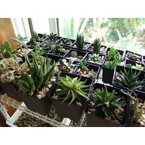 Cactus Y Suculentas Mini Para Recuerdos Xv Años, Bodas Etc.