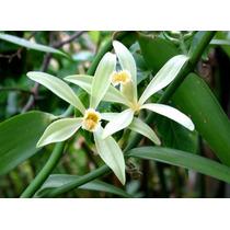 Lote De 5 Orquideas Vanilla Planifolia Vainilla