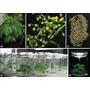 Artemisia Annua Plantulas Y Plantas Vivero Cultivo Organico