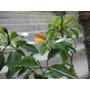 Michelia, Arbol De La Banana, Flores Aromaticas - Ultimo-