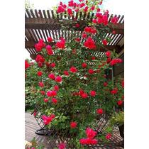 Semillas Exóticas.rosal Trepador Enredadera Rojo. Flor Fpd