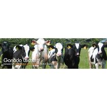 Venta De Vacas Lecheras Y Becerras De Linea Lechera