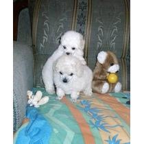 Como Borreguitos Hermosos Cachorros French Poodle Minis!