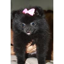 Cachorritas Pomerania Negras, Hermosas!!!