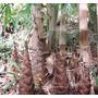 10 Semillas De Dendrocalamus Asper - Bambu Asper Codigo 1315