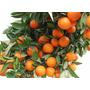 Frutal Mandarina Enana Japonesa Cascara Dulce Envio Gratis