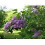 Lilas Aromaticas (10 Semillas)