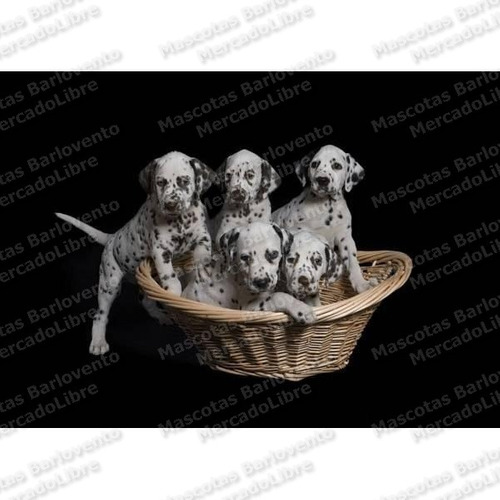 Gran Oferta Cachorros Dalmata Genuinos Aptos Registros Fcm