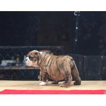 Hermosas Cachorras Bulldog Ingles