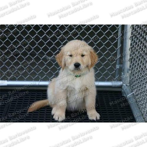 Gran Oferta Cachorros Golden Retriever Dorados Apto Registro