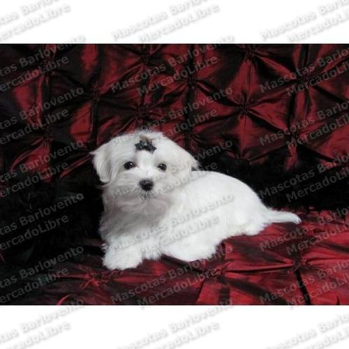 Gran Ofertas Cachorros Bichon Maltes Pelo Lacio Y Blanco Fcm