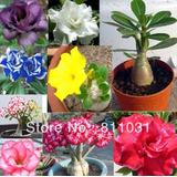 6 Rosas Del Desierto Adenium Obesum De 15 Cm. Surtidas