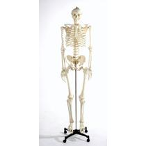 Esqueleto Humano Modelo Anatomico Tamaño 1.80 M Hm4
